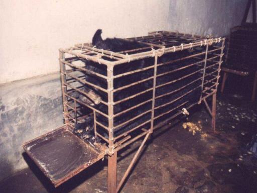 דוב מרה מוחזק בחווה ב-חויז'ואו, שבדרום סין